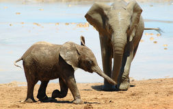 Free African Elephants Stock Images - 1218814