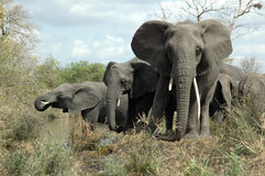 African Elephants. At Kruger National Park Royalty Free Stock Photo