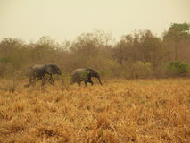 African Elephants. At the national Park Mole, Ghana, West Africa Royalty Free Stock Photo