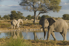 Free African Elephants Royalty Free Stock Image - 15999406
