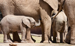 African Elephants Royalty Free Stock Photography