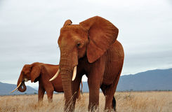 African elephants. African elephant in the Tsavo East National Park royalty free stock photos