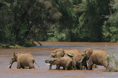 African Elephants. African elephant herd crossing a river Stock Photo