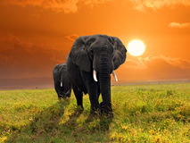 Free African Elephants Stock Photography - 22428552