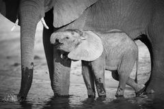 African Elephants Stock Images