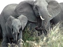 African elephants. At Kruger National Park, South Africa Royalty Free Stock Image