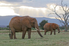 African Elephants. Two African elephants in natural habitat savanna in Tsavo National Park, Kenya Royalty Free Stock Images