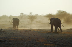 African elephants. At a drinking hole in Etosha, Namibie Royalty Free Stock Photography