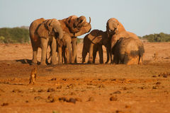 African Elephants. Herd of African Elephants at the water hole in Tsavo National Park, Kenya Stock Images