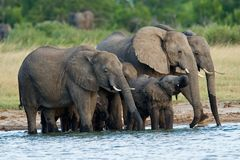 African elephants. Herd of African elephants (Loxodonta africana) at a waterhole, Hwange National Park, Zimbabwe stock photos