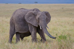 African elephants. Two African elephants walking together and munching some branches in the bushland of the Masai Mara in Kenya Stock Photography