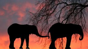 African elephants. Two African elephants against an orange sky stock image