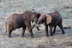 African Elephants Royalty Free Stock Photos