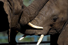 African elephants. Closeup of two African elephant head portraits with big tusks standing together interacting and touching each other with their trunks and Stock Image