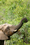 African Elephants royalty free stock photo