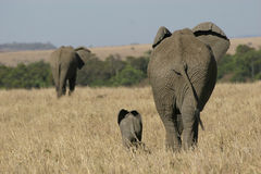 African Elephants. Elephant mother and baby walking in grassland Royalty Free Stock Image