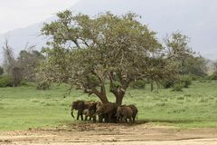 African Elephants. Family of elephants standing under tree Stock Photos