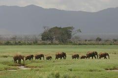 African Elephants. Herd of african elephants walking in tandem through open grassland Stock Images