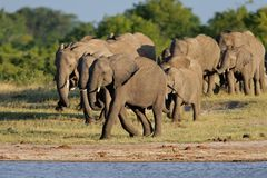 African elephants Royalty Free Stock Image