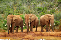 African elephants. Three young African elephant bull bachelors standing in a row at a water hole in a game park in South Africa Stock Photo