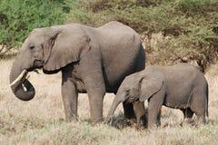 african elephants стоковая фотография rf