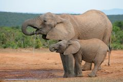 African elephants, Addo Stock Photo