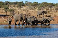 African Elephants in Africa. African Elephants drinking at a water hole Stock Image