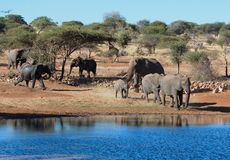 African Elephants in Africa. African Elephants drinking at a water hole in Africa Royalty Free Stock Images