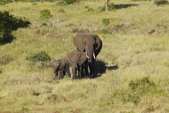 African Elephants in afternoon light at Lewa Conservancy, Kenya, Africa Stock Photo