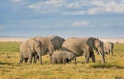 African Elephants, Amboseli. Group of African bush elephants  (Loxodonta africana) feeding in grassland of Amboseli National Park, Kenya Royalty Free Stock Photography
