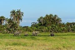 African elephants Royalty Free Stock Image