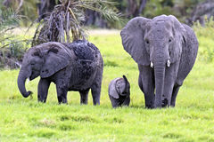 African elephants Stock Photo