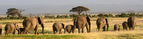 African elephants, Amboseli National Park, Kenya royalty free stock image