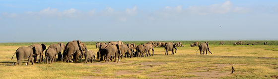 African elephants, Amboseli National Park, Kenya Royalty Free Stock Photo