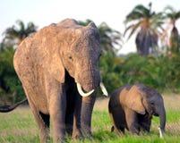 African elephants, Amboseli National Park, Kenya Stock Photo
