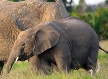 African elephants, Amboseli National Park, Kenya Royalty Free Stock Images