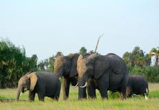 African elephants, Amboseli National Park, Kenya Royalty Free Stock Photos