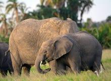African elephants, Amboseli National Park, Kenya Stock Images