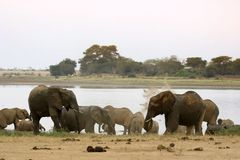African Elephants At Lake Stock Image