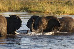 African Elephants - Botswana. Elephants (Loxodonta africana) in the Chobe River in Botswana Stock Photography