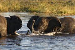 African Elephants - Botswana. Elephants (Loxodonta africana) in the Chobe River in Botswana stock photography