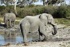 African elephants - Botswana. African elephants drinking at a waterhole in the Savuti area of Botswana Royalty Free Stock Images