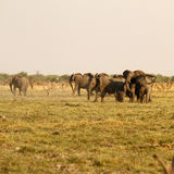 African Elephants grouped defending off lions Stock Photography