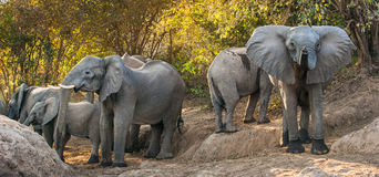 The  African elephants Royalty Free Stock Images