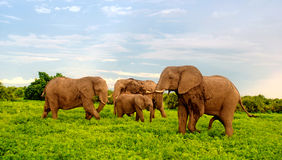 African elephants in bush savannah, Botswana. Royalty Free Stock Photos