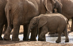 African elephants with calf at waterhole Royalty Free Stock Photo