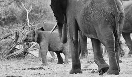 African Elephants and calves in the wild royalty free stock photo