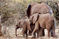 African Elephants and calves in the wild royalty free stock photos
