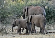 African Elephants and calves in the wild stock photos