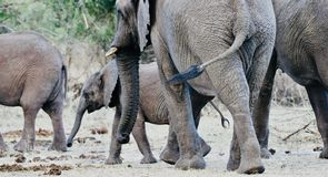 African Elephants and calves in the wild royalty free stock image